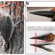 Woodpecker beak
